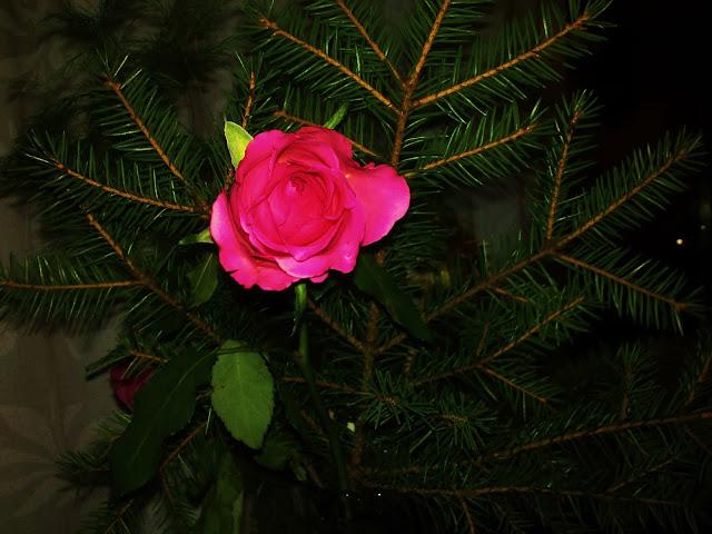 ruusu, havu, aniliini ruusu