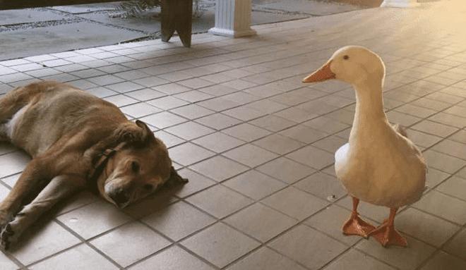 Duck Cheers Up Depressed And Heartbroken Dog Whose Best Friend Died