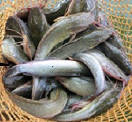 Peluang Usaha Budidaya Ikan Nila YouTube
