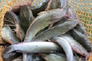 Faktor penting dalam Budidaya Ikan Lele dumbo
