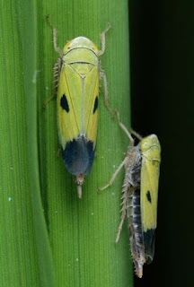nephotettix virescens