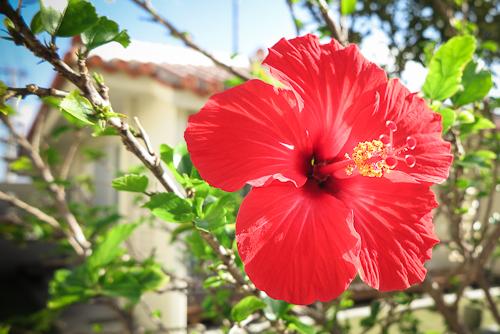 Hibiscus, Ishigaki Island, Okinawa, Japan.