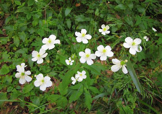 Jaskier platanolistny (Ranunculus platanifolius L.).