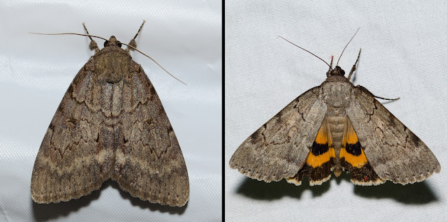 Magdalen Underwing, Catocala illecta
