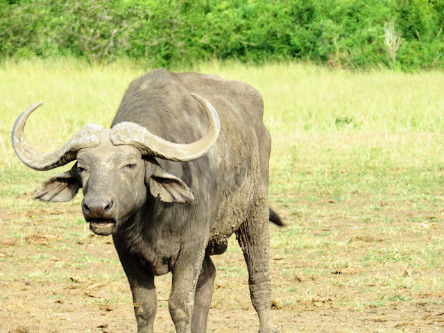 Buffalo, one of the wildlife Big 5, in Uganda's Queen Elizabeth National Park
