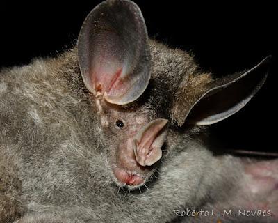 Woolly false Vampire Bat