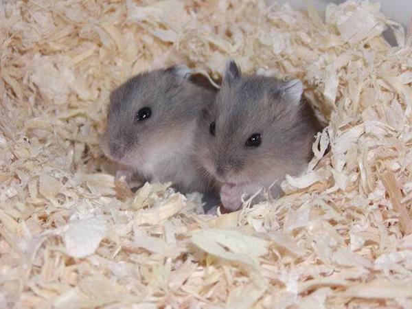 喜愛飼養的寵物之一!認識寵物鼠種類與特性 | 瘋寵物