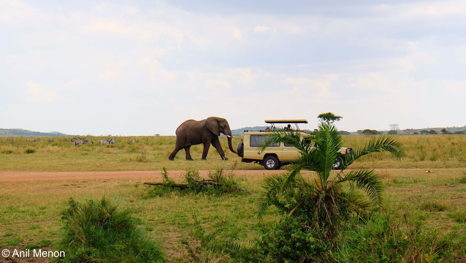 An elephant in a wildlife park in Tanzania right beside a safari vehicle