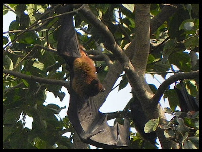 Indian flying fox, Pteropus giganteus, Pteropus giganteus in Kutch