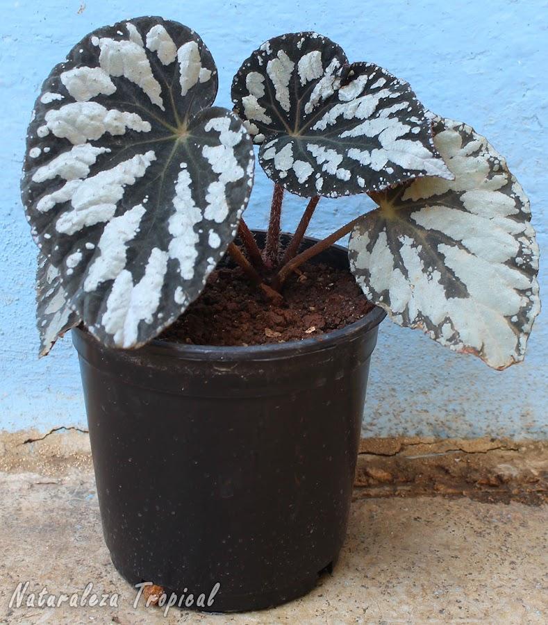 Begonia trasplantada a una maceta de plástico para que se mantenga la humedad durante más tiempo