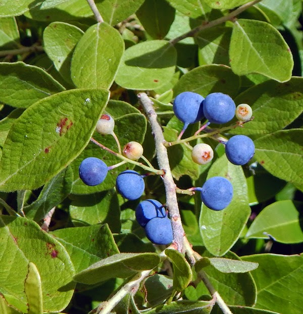 Wild Berries Of The Blue Persuasion Blueberries