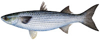Kefal balığının yandan görünüşü