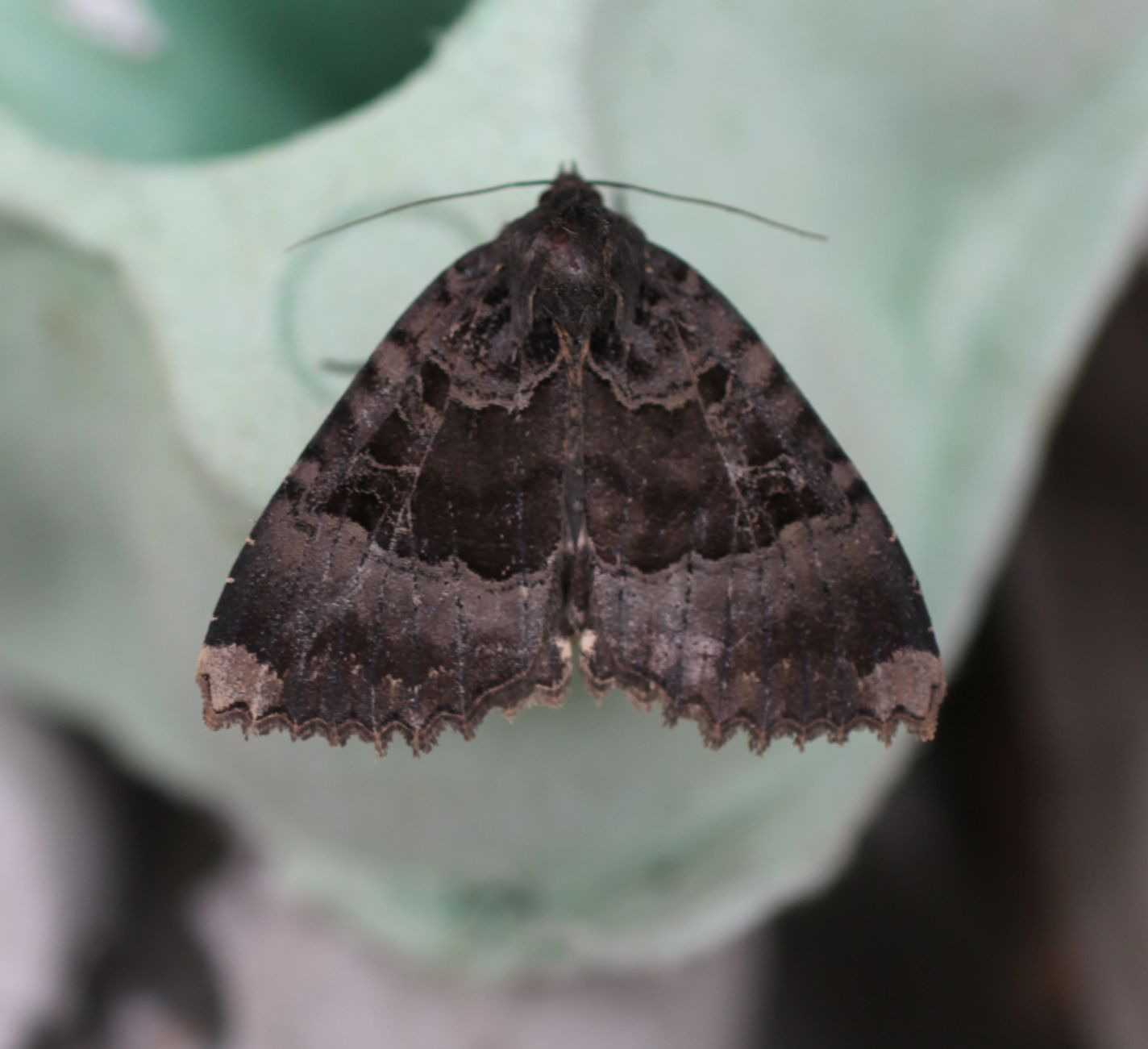 Shandy Hall Moths 1 August 2016 Old Lady In Earth Closet