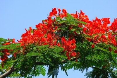 Wallpaper Quot Krishnachura Gulmohar Quot Natural Beauty Of