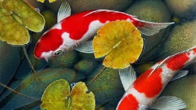 Jenis Tanaman Pemicu Warna Ikan Koi Yang Mudah Didapat