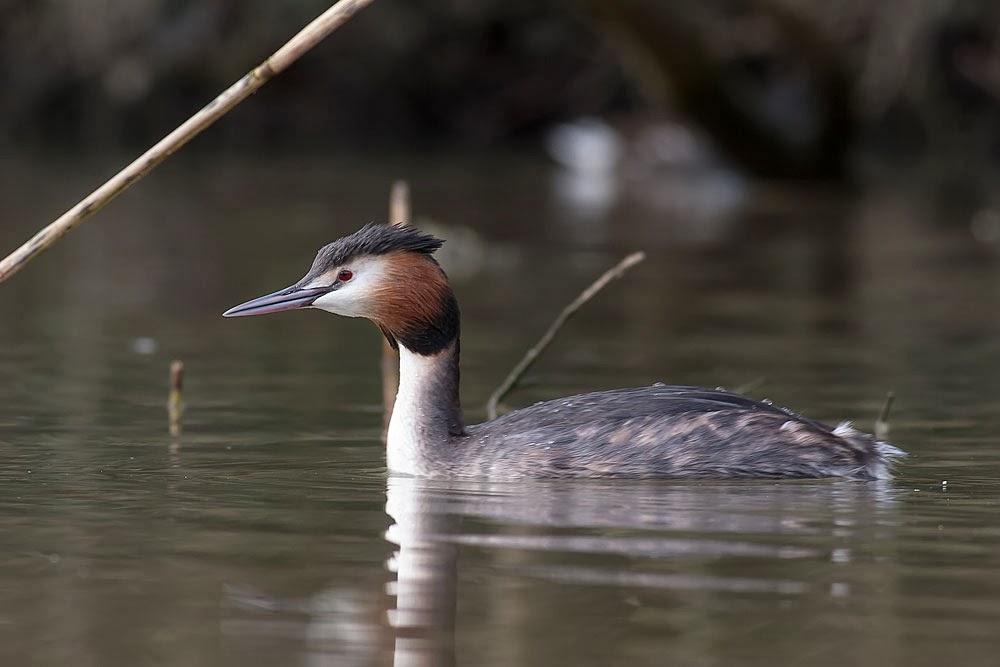 Great-Crested Grebe, Lodge Lake, Milton Keynes