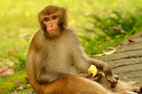 Amazing Facts About Monkey in Hindi