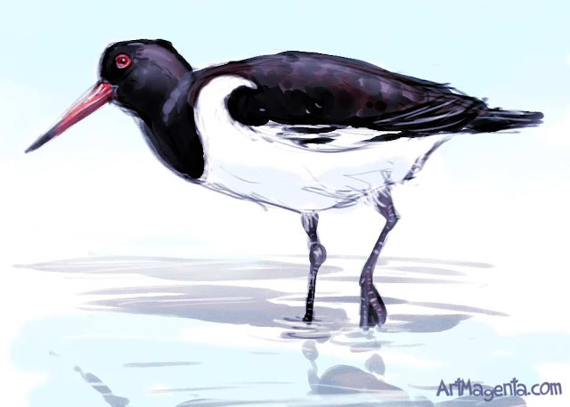 Oystercatcher sketch painting. Bird art drawing by illustrator Artmagenta