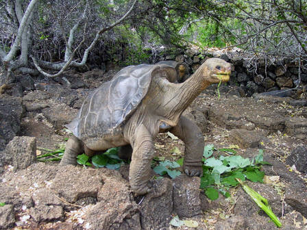 More on Lonesome George - The Icon of Stubborness
