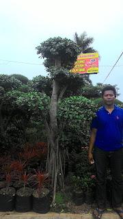Tukang Taman murah penjual pohon bonsai beringin korea dengan harga paling murah