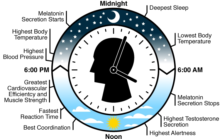 How your body clock works