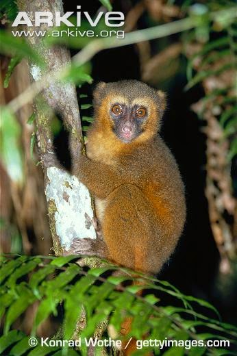 Endangered Madagascar lemurs