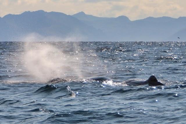 Ballenas cachalotes en Andenes Noruega