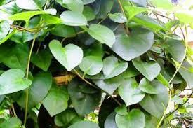Gambar Obat sipilisAlami  dari tumbuhan