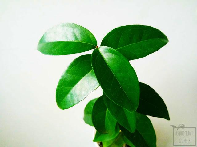 Goździkowiec jednokwiatowy (Eugenia uniflora), czyli pitanga. Uprawa z nasiona, aktualizacja rok po wysiewie. Hodowla pitangi w domu.