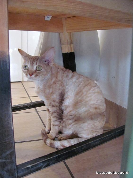 Devon Rex, maček