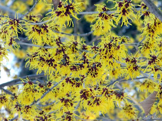 kwiaty oczarów w styczniu