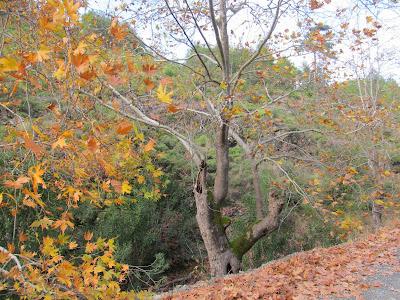 çınar ağacı, pelit ağacı ile ilgili görsel sonucu