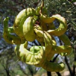 Algarrobo blanco Prosopis alba