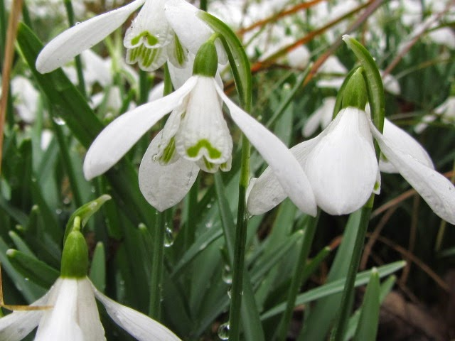 Snowdrops multiple