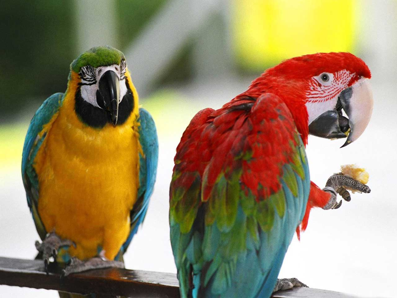 parrots wallpaper bird - photo #29