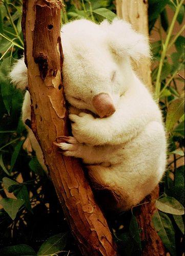 Estes marsupiais encontram-se em via de extinção desde o início da colonização inglesa da Austrália, quando surgiu o hábito de matá-los para usar sua pele. Hoje, a caça não é o maior risco mas sim as queimadas nas florestas, que matam muitos animais, e a eliminação das árvores onde vivem, tanto por queimadas quanto por lenhadores. Ao perder a sua casa e alimento, o coala muda-se e pode chegar a povoamentos ou cidades, onde morre por atropelamento ou é caçado por cães.