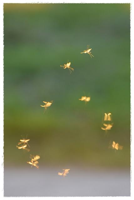 insectes peut être éphémère volant dans la lumière
