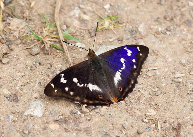 Purple Emperor - Northamptonshire