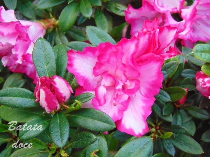 Cuidados com as az leas cantinho verde horta e jardim - Azalea cuidados planta ...