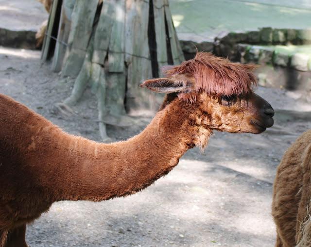 Tierpark Gera - Alpakas