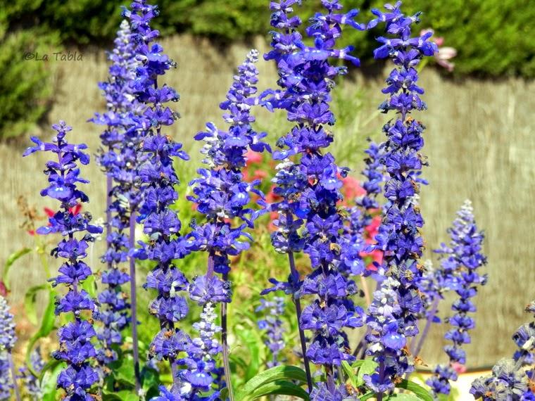 Salvia farinacea flor azul añil