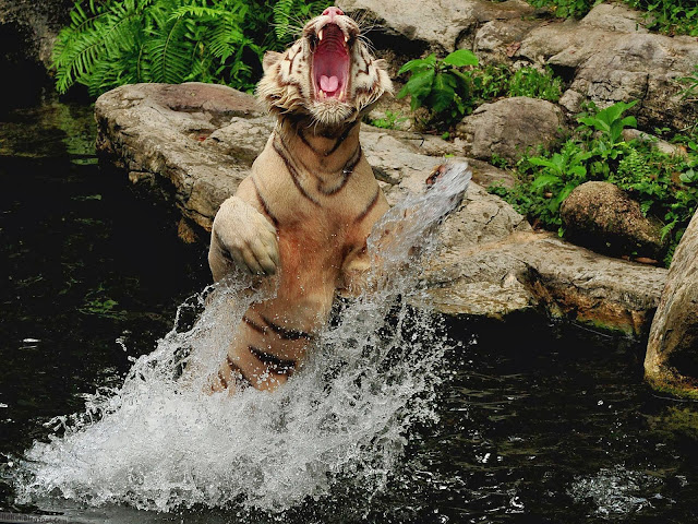 http://hdhut.blogspot.com/2014/02/top-18-fabulous-and-dashing-tiger.html