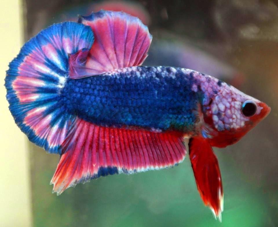 Red Dragon Girl Wallpaper Cara Berternak Ikan Cupang