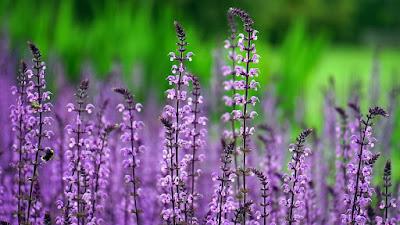 les-plantes-offrent-de-nombreux-medicaments-comme-la-lavande