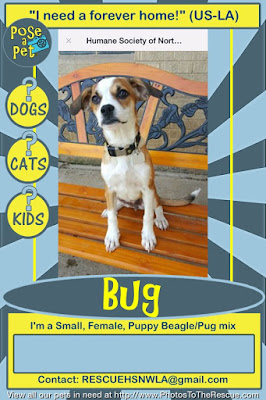 Adoption notice for a Beagle/Pug puppy