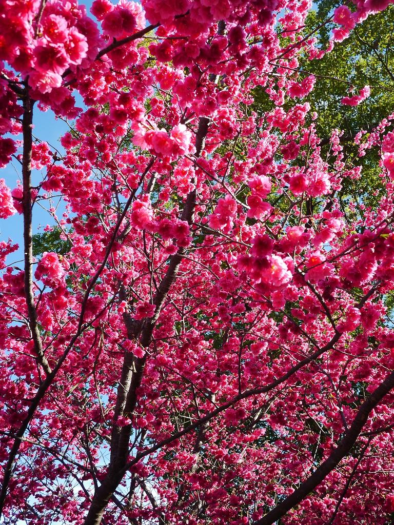瘋玩樂 瘋拍照: 新社櫻花季~~129縣道