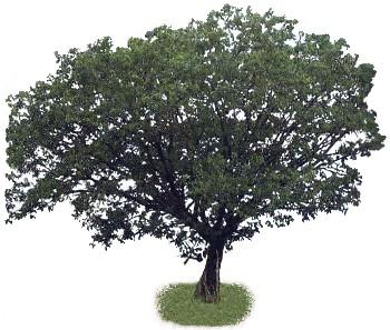 Sombreiro (Clitoria fairchildiana)