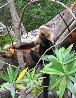 Costa Rican monkey by keagiles