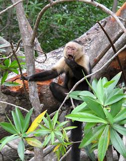 Costa Rican monkey by keagiles