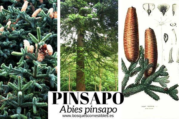 El Pinsapo o Abeto Andaluz, Abies pinsapo, es una especies de abeto más resistentes a la sequía estival